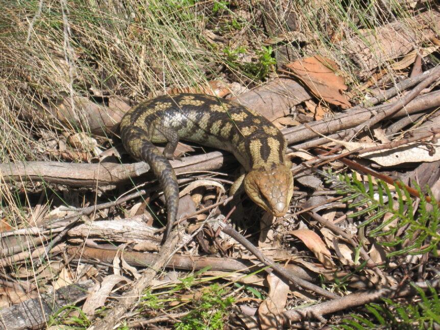 Blue Tongued Lizard - Summit of Knocklofty